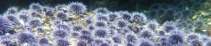purple urchins